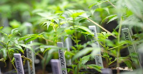 Marijuana's Buzzkill DNA: Biotech Researcher Finds Medical Pot Laced With Feces